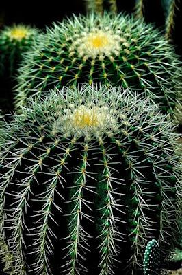 Tak Sekedar Berduri, Kaktus Bisa Dijadikan Hiasan