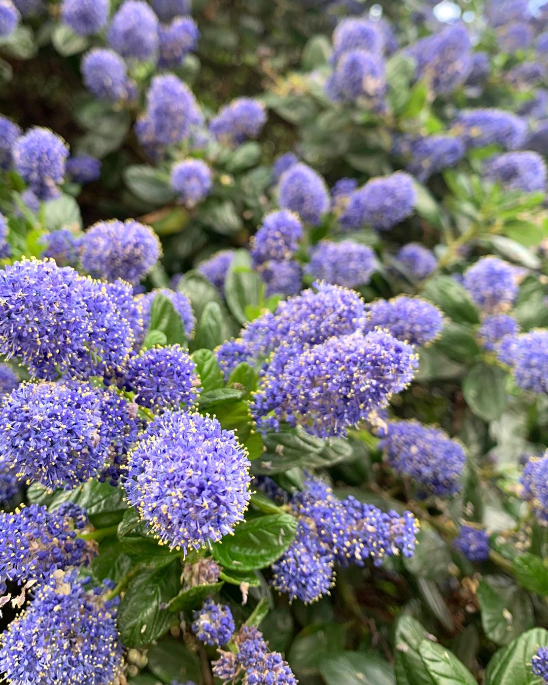 Ceanothus purple flowering bush in London - UK lifestyle blog