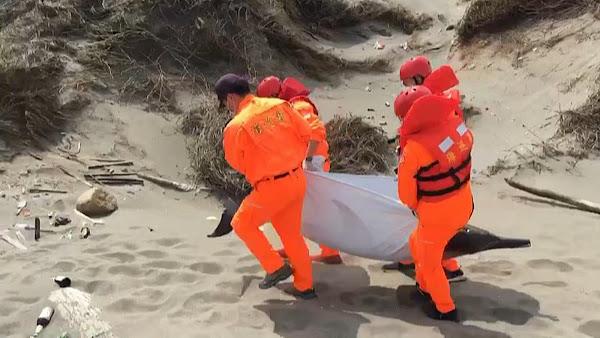 真海豚魂斷彰化沙灘 中華鯨豚協會載回研析