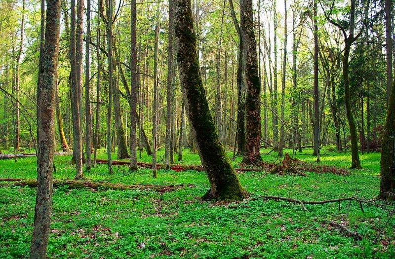 Floresta Bialowieza