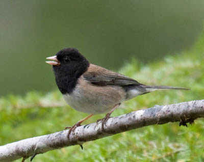 Photo of singing Oregon Junco on branch in forest