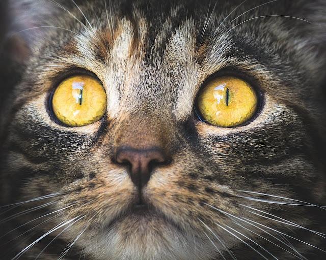 صور عيون وشكل القطط