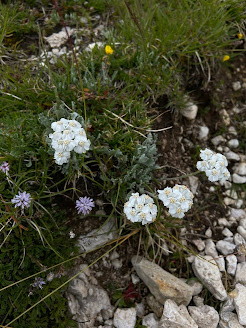 [Asteraceae] Achillea clavennae – Silvery Yarrow (Millefoglio di Clavena)