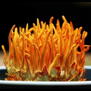 Cordyceps mushroom for sale