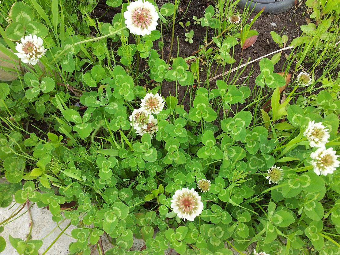 洋炉サンドラ クローバーはシロツメグサである-白い花が咲くこの季節、その意味がわかる