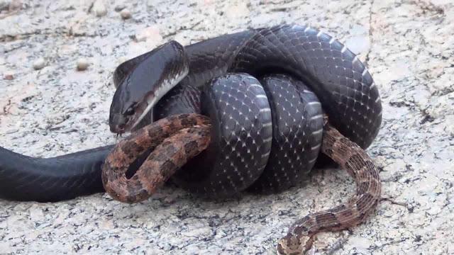 Muçurana, Mussurana - a Cobra do Bem