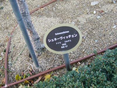中之島公園のばら園 シュネーヴィッチェン