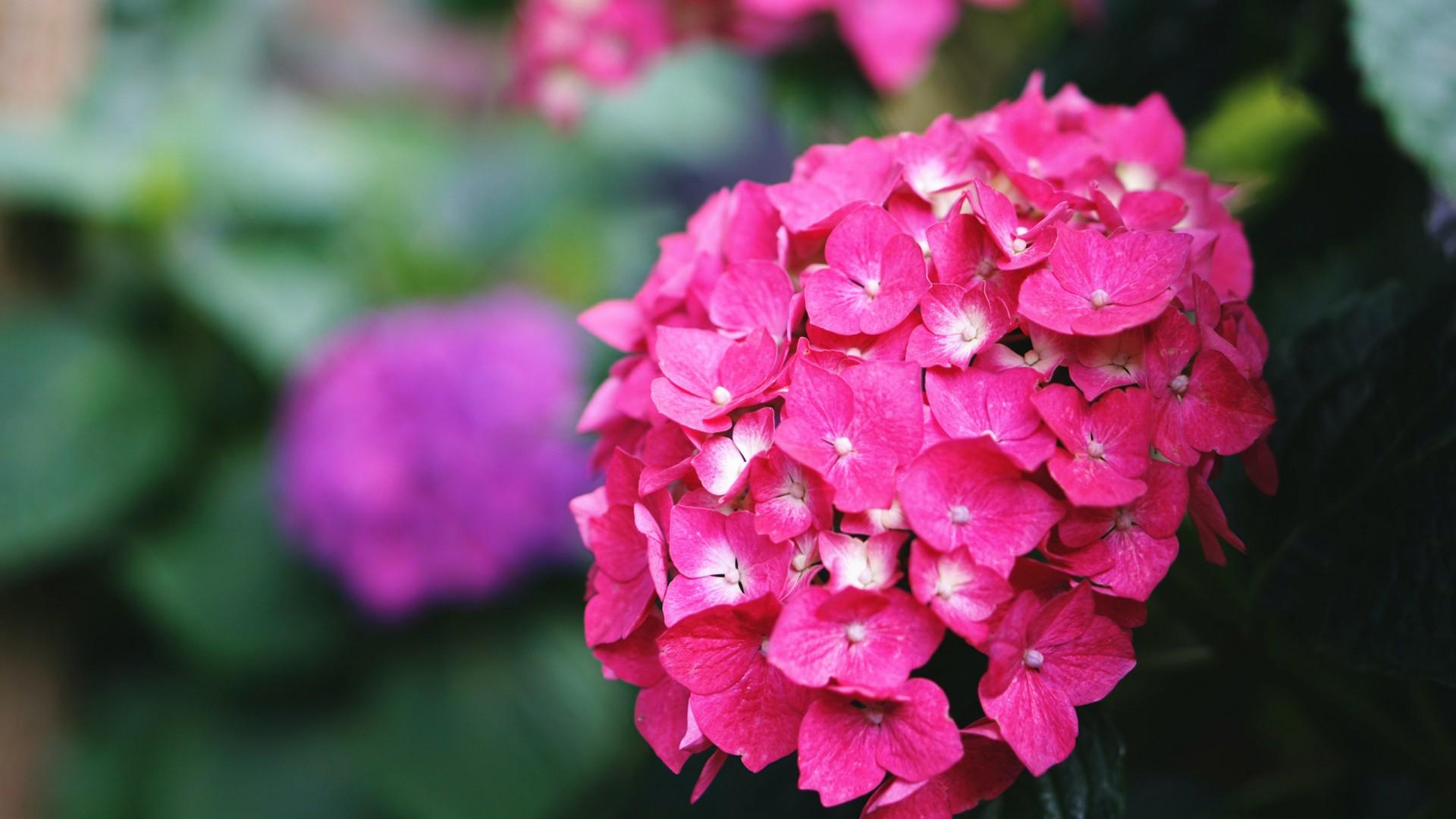 hydrangea pink flower in blur background HD flowers Wallpaper
