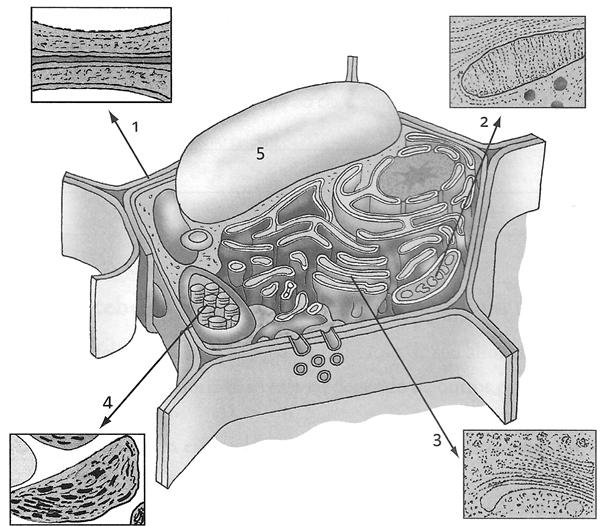 Observe, na figura a seguir, a ilustração de uma célula e algumas imagens em micrografia eletrônica
