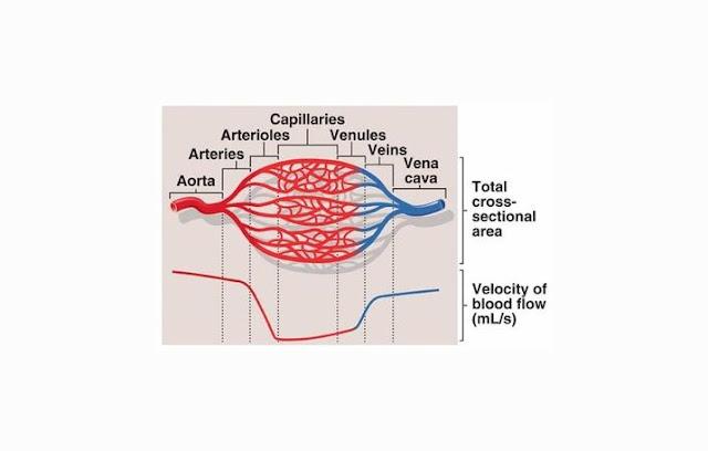 Aorta, Arteriol, Kapiler