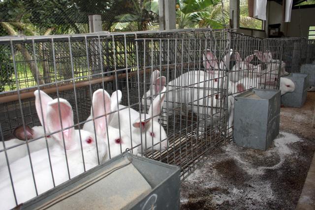 Más de seis mil conejos vacunados contra enfermedad viral: Agricultura. Internet