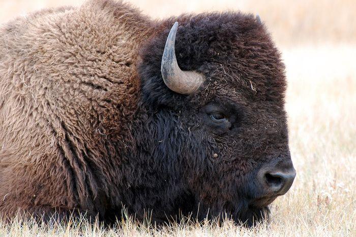 Kerbau bison