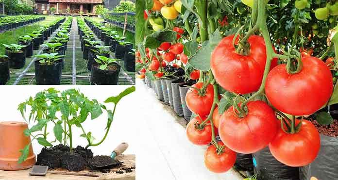 Cara menanam tomat di pot atau di kebun agar berbuah lebat