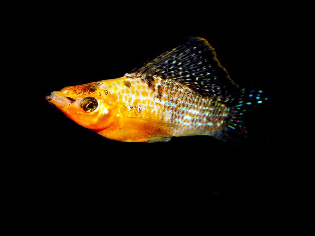 Velifera Balığı Aşama Ortamı