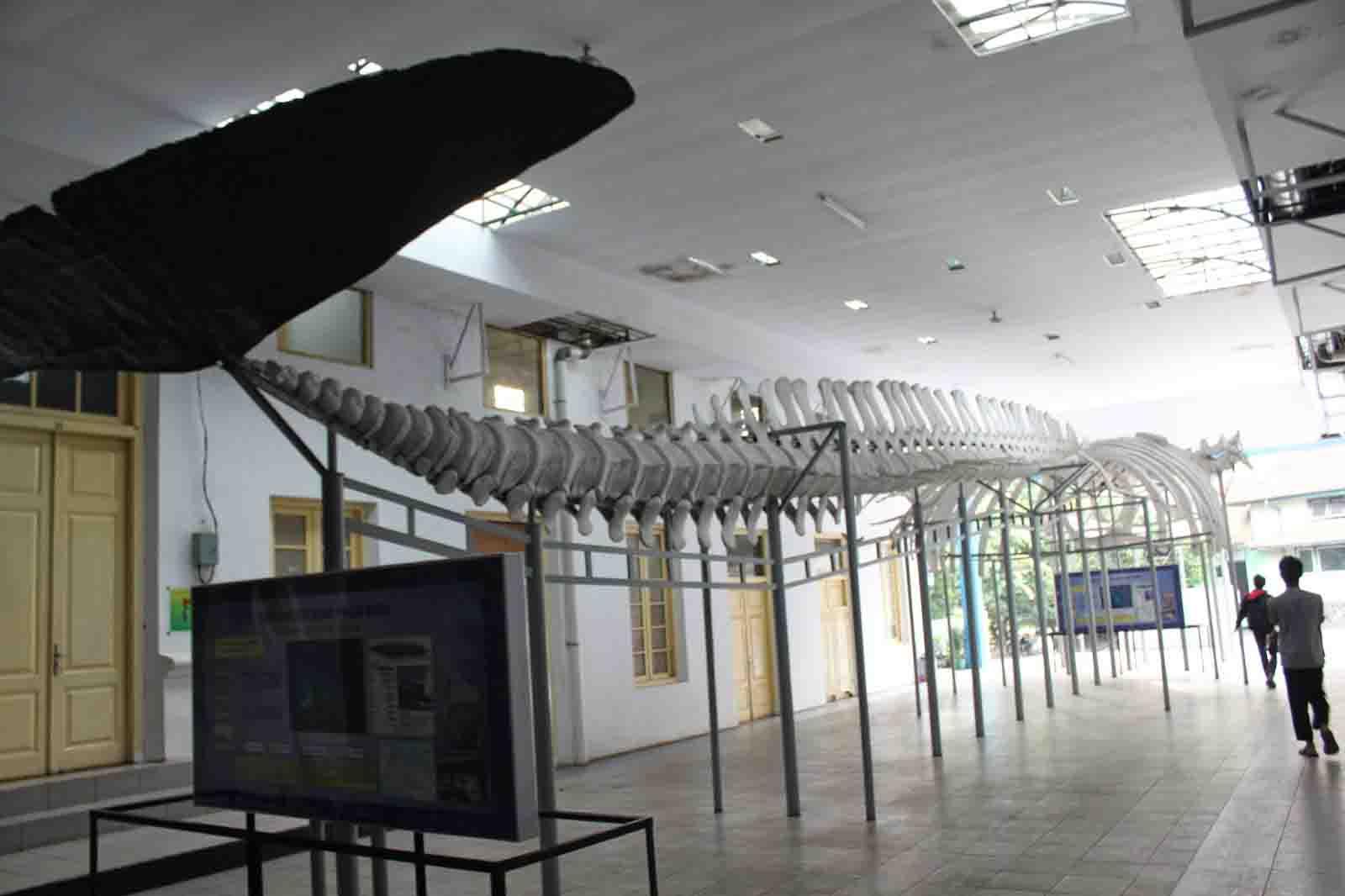 Fosil Ikan Hiu museum siwalima