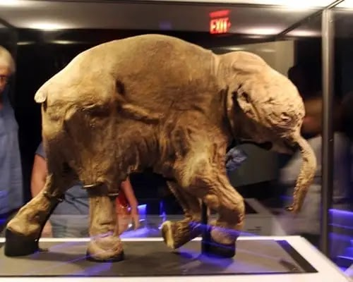 baby woolly mammoth, baby mammoth ice age, baby mammoth found in ice, Baby mammoth found in Russia,