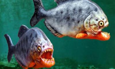 Τρομακτικό: Δείτε πως αντιδρούν τα πεινασμένα πιράνχας! (ΒΙΝΤΕΟ)