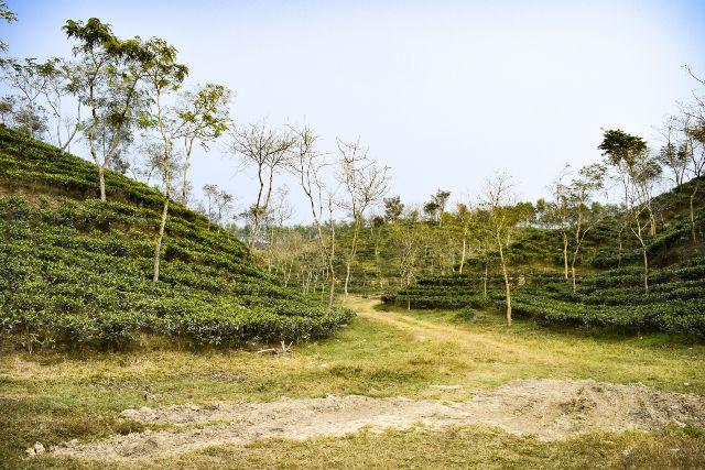 Beautiful Tea garden