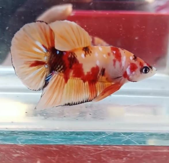 Gambar Ikan Cupang Plakat