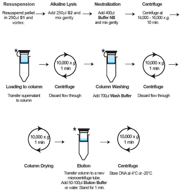 Lab 6 isolation of chromosomal dna
