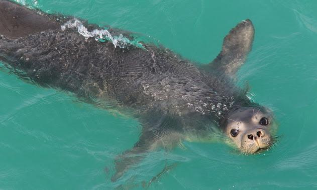 Avvistata una foca monaca nel mare della Calabria