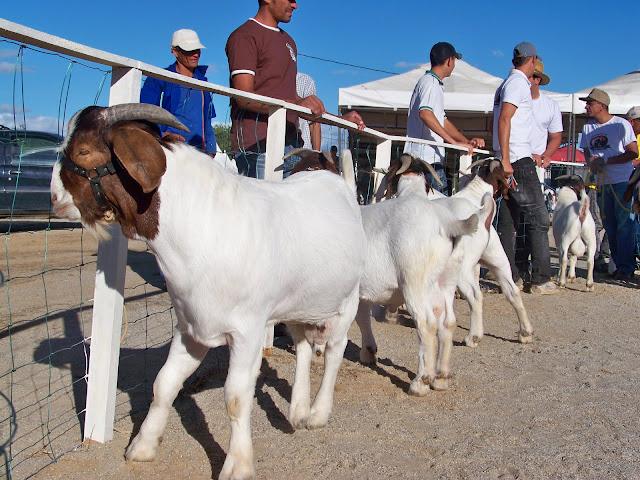 Prefeitura de Juazeiro promove a VII Feira de Caprinos e Ovinos do distrito de Itamotinga - Caprinos Ovinos - Portal SPY