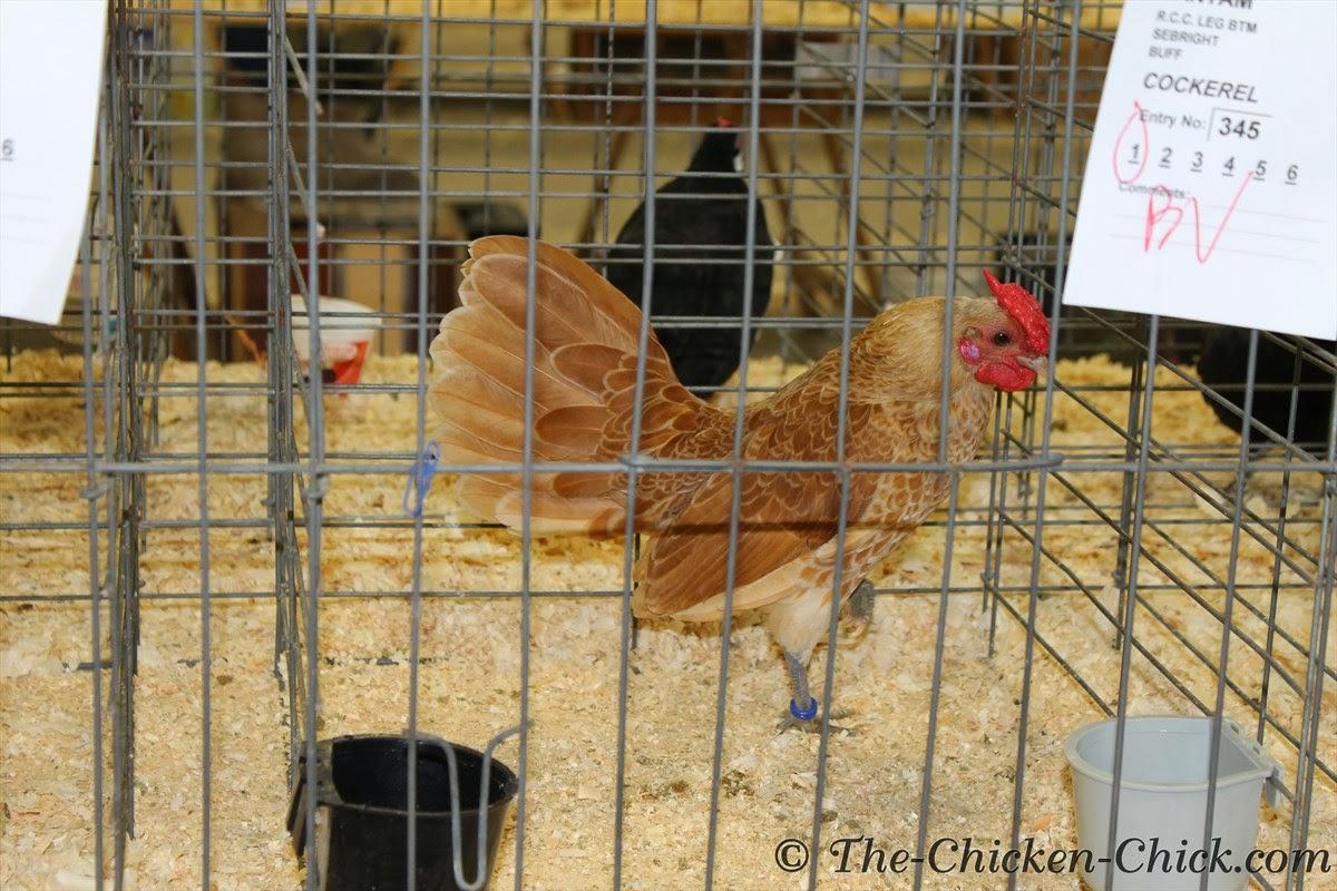 Bantam Buff Sebright cockerel