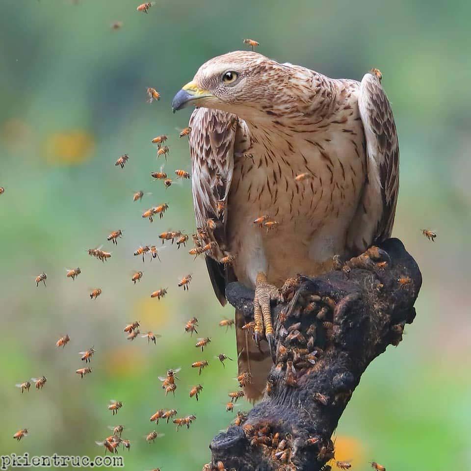Chim Diều ăn ong và đàn ong