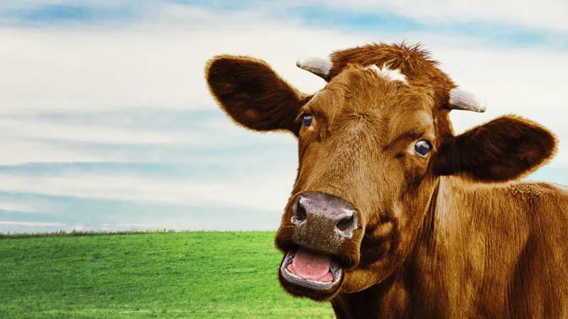 Good Moos: Science Says Cows Have Unique Voices