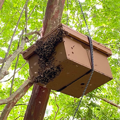 bee,bee keeping,scout bees, plastic starter strip,swarm,swarm capture,swarm lure,swarm trap