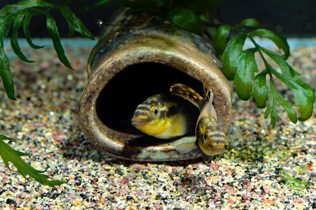 F1. Pelvicachromis subocellatus(Moanda)