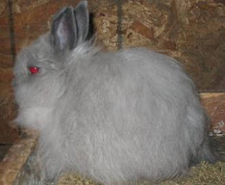 Jersey Wooly Grey Dwarf Rabbit