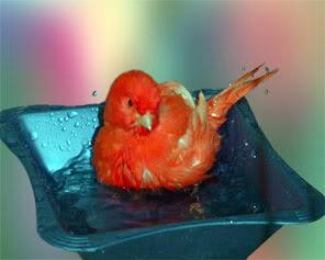 burung kenari mandi