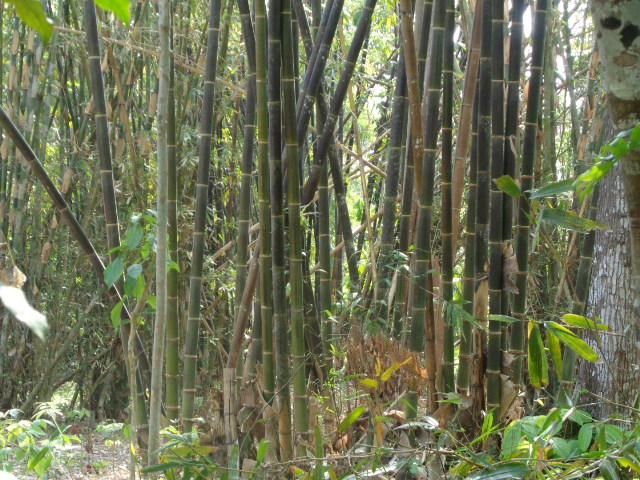 Kebun Bambu Wulung
