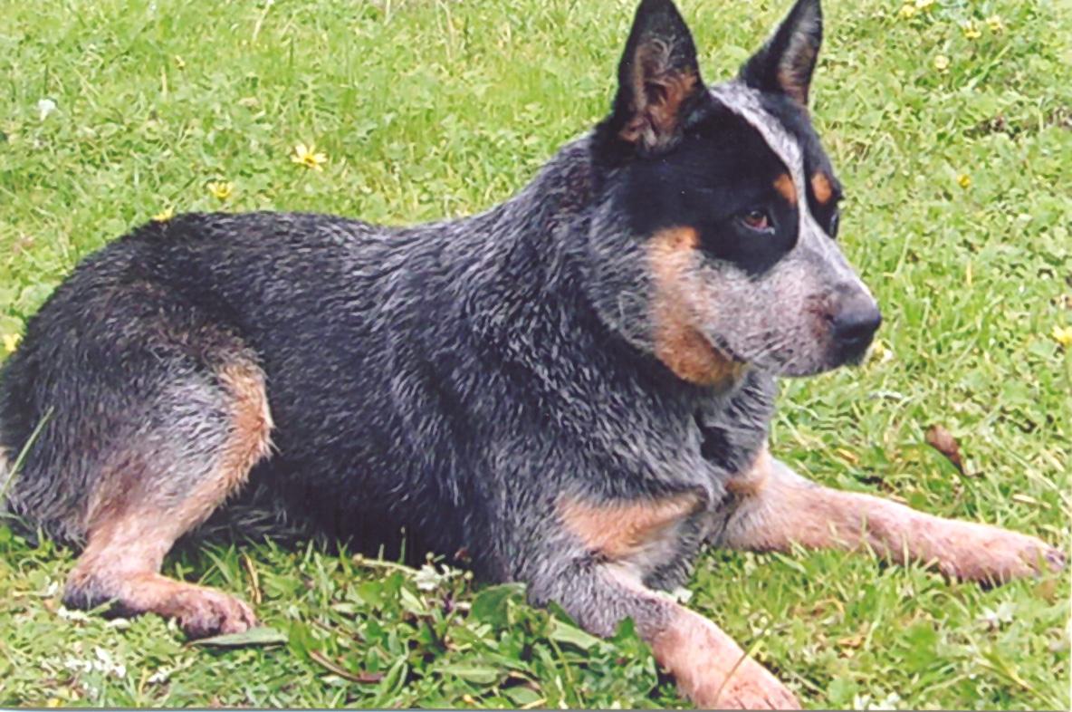 Dog Photo Australian Cattle Dog