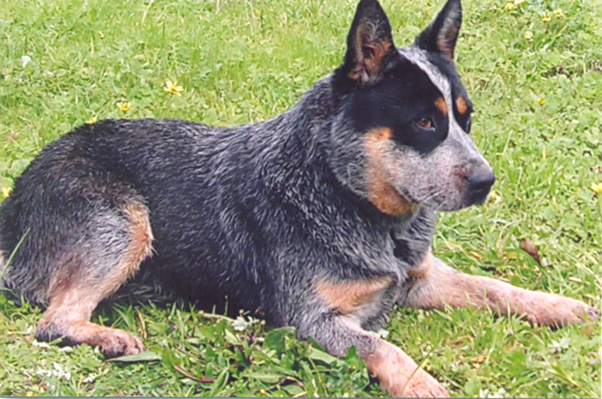 Australian Cattle Dog Dog Photo Australian Cattle Dog
