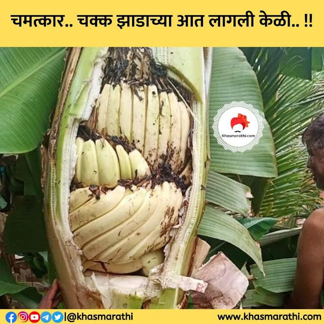 चमत्कार.. चक्क झाडाच्या आत लागली केळी.. || Marathi special