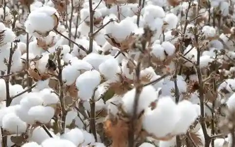 Cotton imports increase drastically by 46% as local production falls