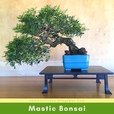 Mastic Bonsai
