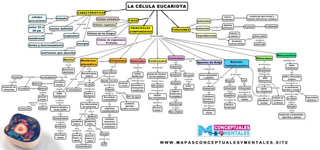 Mapa conceptual de la célula eucariota con sus partes y funciones