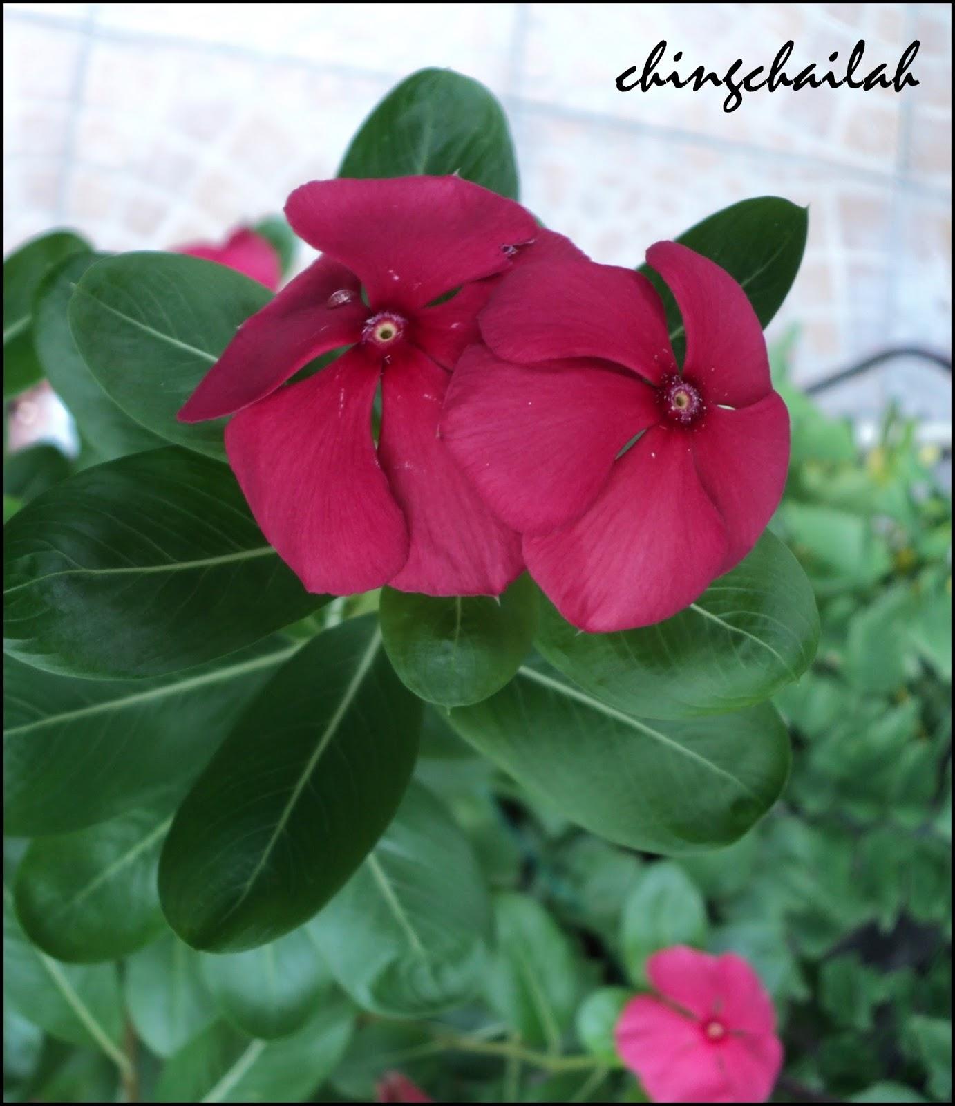 Simple living in nancy growing rosy periwinkle plants in my garden growing rosy periwinkle plants in my garden mightylinksfo