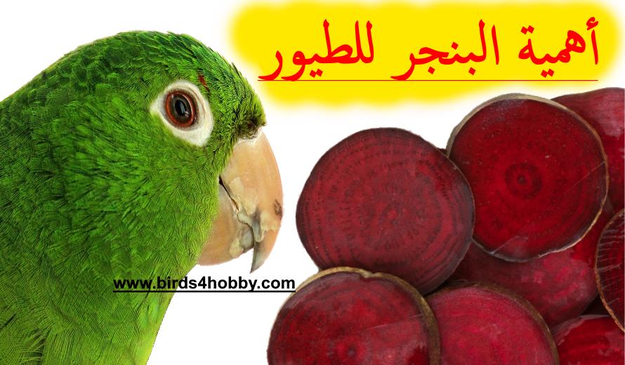 فوائد الشمندر الأحمر أو البنجر وأهميته ل طيور الزينة