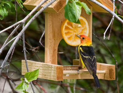 Photo of Western Tanager eating an orange at a feeder