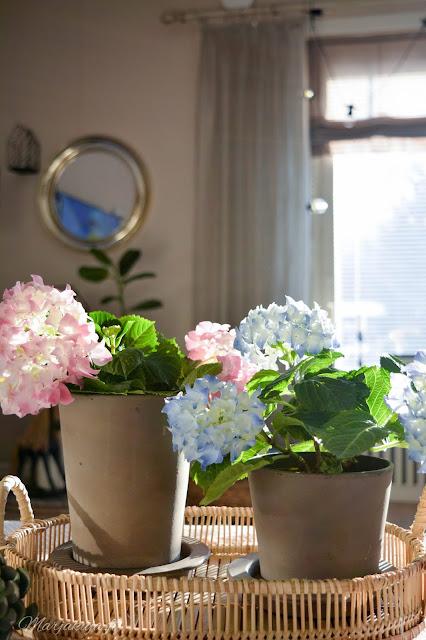 kukka hortensia hortensiat kevät sisustus