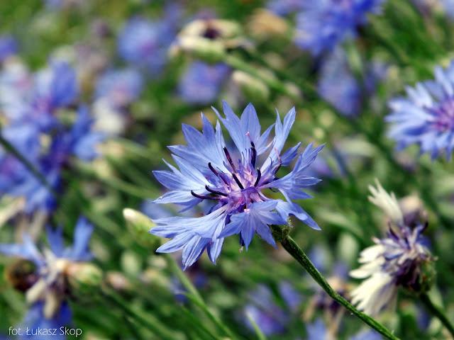 niebieski bławatek