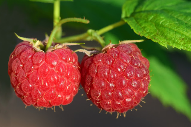 Learning how to grow blackberries and raspberries provides delicious berries that can be eaten straight off the vine or cooked into cobblers, crisps and tons of other dishes.