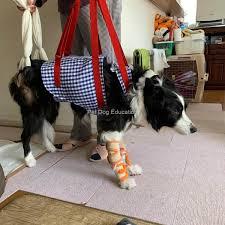cães cadeirantes