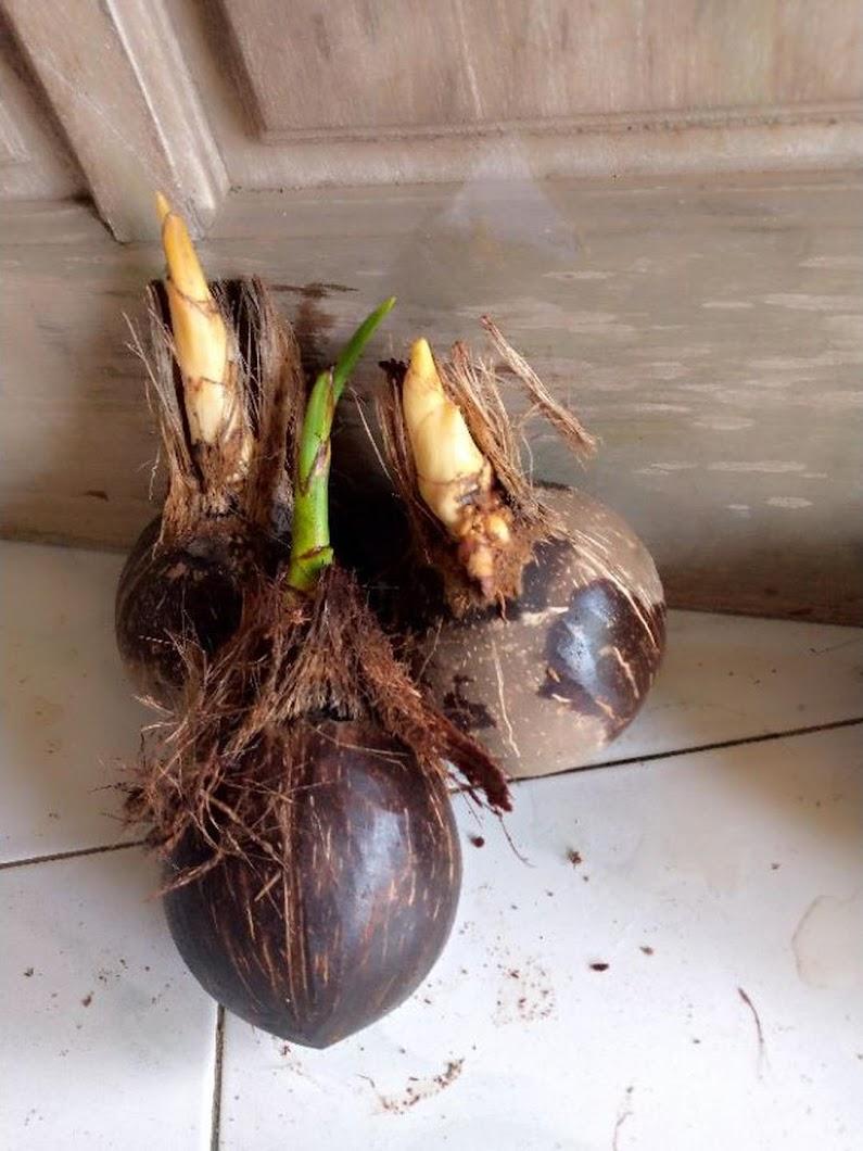 bahan bonsai kupasan halus Jayapura