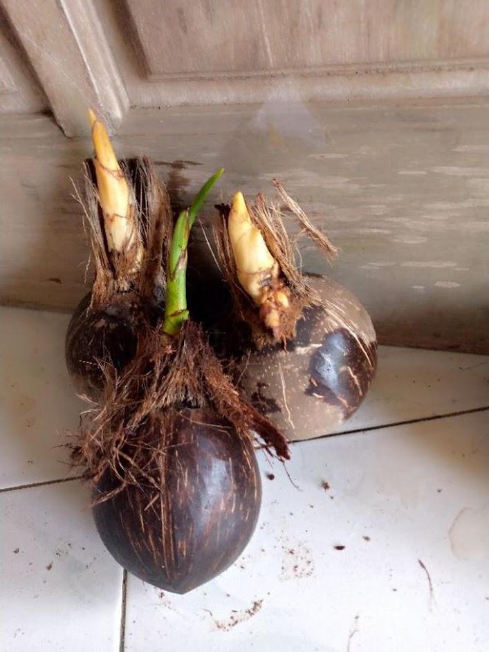 bahan bonsai kupasan halus Papua Barat