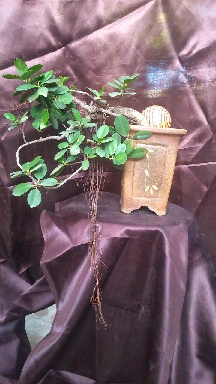 cascading ficus bonsai ahmedabad